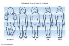 allometric growth