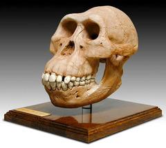 Australopithecines