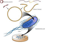 bacterial artificial chromosome (BAC)