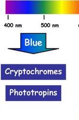 blue-light photoreceptors