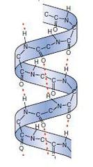 α-helix