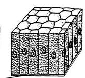 columnar epithelium
