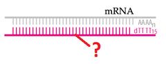 complementary DNA (cDNA)