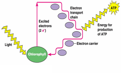 cyclic photophosphorolation