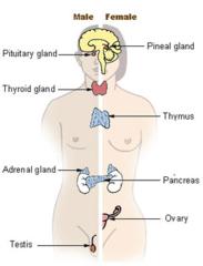 edocrine glands