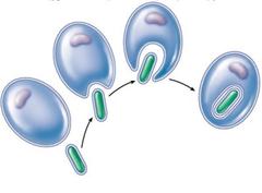 endosymbiotic theory