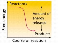 exergonic reaction