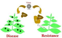 gene-for-gene recognition
