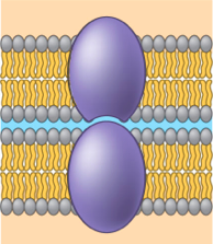 intercellular joining