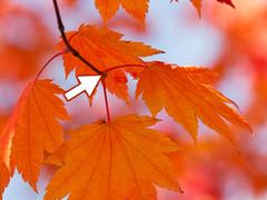 leaf abscission