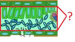 mesophyll