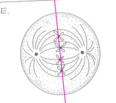 metaphase plate