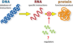 micro-RNA (miRNA)