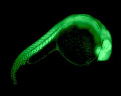 morphogenesis