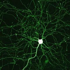 Neurons
