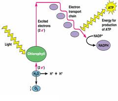 noncyclic photophosphorolation