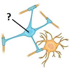oligodendrocytes