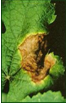 oligosaccharins