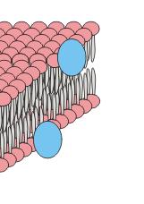 peripheral proteins