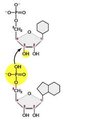 phosphodiester bonds
