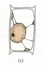 plasmolyze