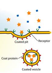 receptor-mediated
