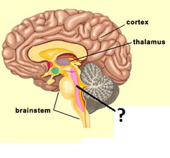 recticular formation