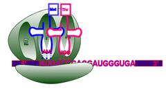 ribosomal A site