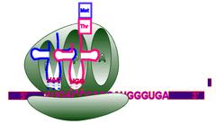 Ribosomal E site