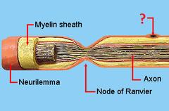 Schwann cells