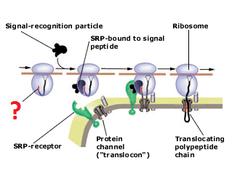 signal peptide