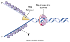 single-strand binding protein (SSB)