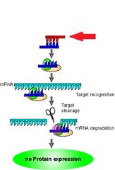siRNAs (small interfering RNAs)