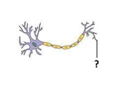 synaptic terminal
