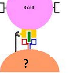 T lymphocytes (T cells)