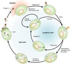 temperate phage
