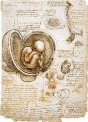 The Fetus and the Lining of the Uterus by Leonardo Da Vinci, 1510-1512