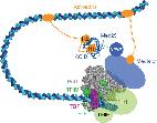 transcription initiation complex